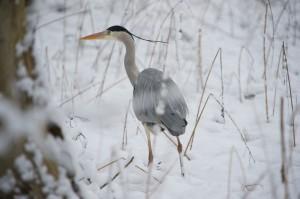 001 Fiskehejre, vinter
